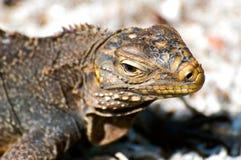 w górę dzikiego zamknięta iguana fotografia royalty free