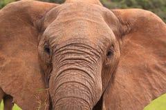 w górę dzikiego zamknięty słoń Zdjęcia Royalty Free