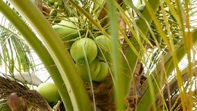 W górę egzot zieleni drzewko palmowe opuszcza z gronem młodego świeżego round kokosowa owoc z mlekiem wśrodku naturalny zbiory wideo