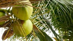 W górę egzot zieleni drzewko palmowe opuszcza z gronem młodego świeżego round kokosowa owoc z mlekiem wśrodku naturalny zbiory