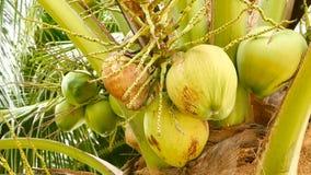 W górę egzot zieleni drzewko palmowe opuszcza z gronem młodego świeżego round kokosowa owoc z mlekiem wśrodku naturalny zdjęcie wideo