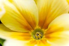 W górę fiołka żółtego kwiatu obrazy stock