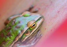 A w górę fotografii żaby Litoria aurea; Zielonego i Złotego Bell żaba odpoczywa w Bromellia roślinie; płytka głębia pole z acc obrazy royalty free