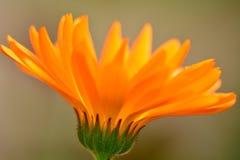 W górę fotografii jaskrawy pomarańczowy nagietka kwiat, przypomina ogienia zdjęcie stock