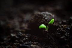 W górę fotografii kruchy malutki microgreen rozsadowego dorośnięcie w organicznie ziemi, pierwszy liście roślina Żywotności pojęc obraz stock
