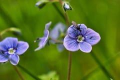W górę fotografii mały insekt na fiołkowym kwiacie obrazy royalty free