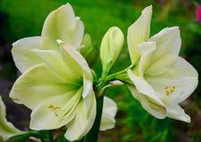A w górę fotografii piękny amarylka kwiatu hippeastrum Rzadka żółta rozmaitość fotografia stock