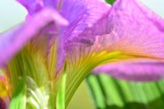 W górę fotografii piękny irysowy kwiat; jaskrawi purpur, zieleni i koloru żółtego colours; niezwykły skład który daje wizerunkowi obrazy royalty free