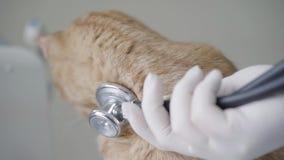 W górę gloved ręk słucha imbirowy kota oddech weterynarz lekarka używać stetoskop Zwierz? zdjęcie wideo