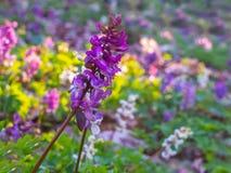 W górę Hollowroot kwiatu w lesie obraz stock