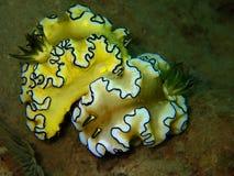 W górę i makro- strzał kotelni nudibranch piękno podwodny światowy pikowanie w Sabah, Borneo zdjęcia stock