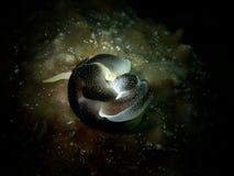 W górę i makro- strzał kotelni nudibranch piękno podwodny światowy pikowanie w Sabah, Borneo obrazy royalty free