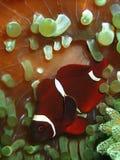 W górę i makro- strzału anemonowa ryba piękno podwodny światowy pikowanie w Sabah, Borneo obraz royalty free
