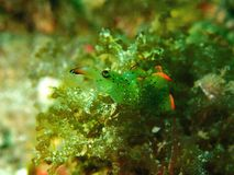 W górę i makro- strzału nudibranch piękno podwodny światowy pikowanie w Sabah, Borneo zdjęcia stock
