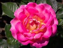 W górę jaskrawego menchii i koloru żółtego Julie Andrews hybrydowa herbata wzrastał w selekcyjnej ostrości outdoors w ogródzie obrazy royalty free