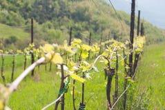 W górę jeden rzędu wczesny winnica dla produkować wino obraz stock
