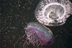 W górę jellyfish w ich naturalnym środowisku z udziałami wszystko wokoło fitoplankton fotografia stock