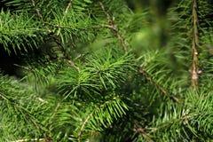 W górę jodły abies wiecznozielonego iglastego drzewa w rodzinnym pinaceae fotografia stock