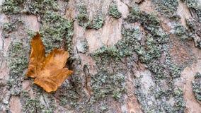W górę klon barkentyny tekstury z spadać liściem acer obrazy stock
