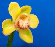 w górę kolor żółty zamknięta orchidea Zdjęcie Royalty Free