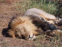W g?r? lwa dosypiania w s?o?cu na Botswana r?wninie obrazy stock