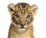 W górę lwa lisiątka odosobnionego, 4 tygodnia starego, fotografia royalty free