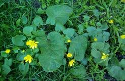 W górę małych żółtych kwiatów z ampułą zieleń opuszcza zdjęcie stock