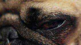 W górę makro- oko mops pies spada uśpiony zdjęcie wideo