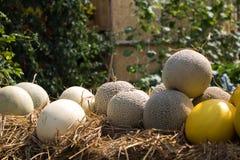 W górę melonu gotowego zbierać w ogródzie fotografia stock