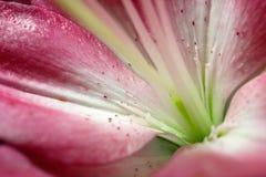 W górę midpoint lelui białego kwiatu obrazy stock