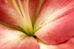 W górę midpoint lelui białego kwiatu fotografia royalty free
