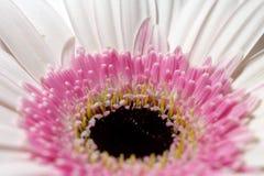 W górę midpoint Rosa gerbera pastelowego kwiatu obrazy royalty free