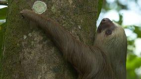W górę opieszałości na dżungla drzewnym bagażniku, Costa Rica zbiory