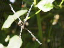 W górę osa pająka na centrum sieć obraz royalty free