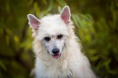 W górę portreta ślicznego powderpuff chiński czubaty pies w jesień lesie zdjęcia royalty free