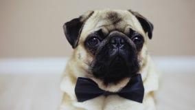 W górę portreta elegancki śmieszny mops pies siedzi ubiera w łęku krawacie dla ślubu jako urzędnik lub zdjęcie wideo