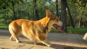 W górę portreta ludzki odprowadzenie z corgy psi oglądać upwards w zieleń parku zbiory