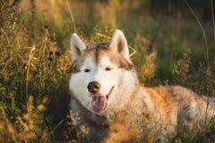 W górę portreta piękny beżu i białego siberian husky pies z brązów oczami kłama w trawie przy zmierzchem obrazy royalty free