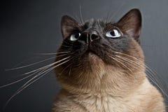W górę portreta Syjamski kot fotografia royalty free
