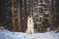 W górę portreta wspaniały i bezpłatny Syberyjskiego husky obsiadanie w zima lesie przy zmierzchem fotografia stock