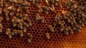 W górę pszczoły czołgać się nad honeycombs na drewnianej ramie Pszczoła stawiający miód w honeycombs zdjęcie wideo