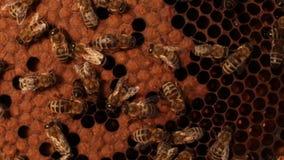 W górę pszczoły czołgać się nad honeycombs na drewnianej ramie Pszczoła stawiający miód w honeycombs zbiory