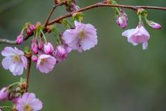 W górę różowych okwitnięć w wiośnie obrazy royalty free