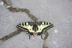 W górę rzadkiego swallowtail motyla obraz royalty free