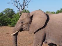 W górę słonia odprowadzenia na Botswana równinie zdjęcie stock