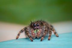 W górę Skokowego pająka zdjęcia royalty free