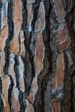 W górę sosna bagażnika pokazuje swój drewnianą teksturę Przestrzeń pisać tekstach i projektach fotografia stock