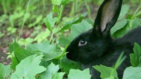 W górę strzału czarny królik w liściach zdjęcie wideo