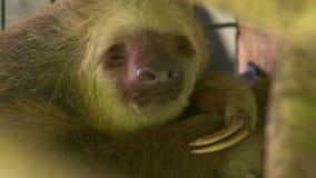 W górę sypialnej opieszałości Zwierzęcego zoo, Costa Rica zbiory wideo