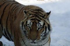W g?r? tygrysa w ?niegu obraz royalty free